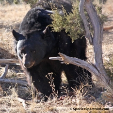 black-bear-wilderness-sq-2